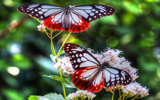 бабочки, цветах, две, яркие, цветы,