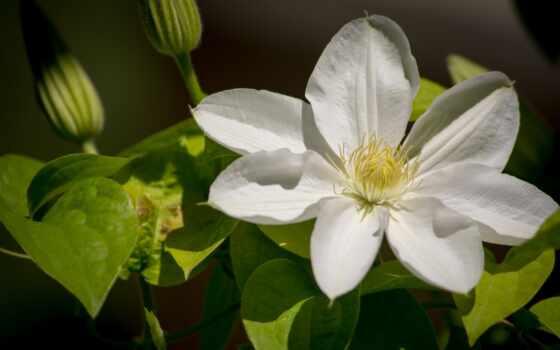 ломонос, tapety, kwiaty, цветы, desktop, zdjęcia, biały, pulpit,