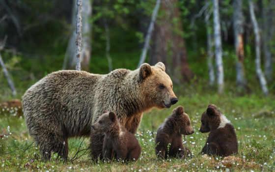медведь, мама, her, бурые, bears, семья, cubs, природа, медведи,