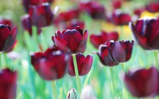 тюльпаны, cvety, бордовые, картинка, rub, каллы, поле, багетная, букеты,