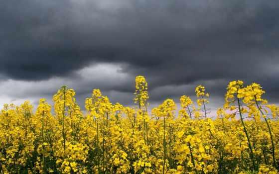 cvety, желтые, полевые, поле, цветов, browse, жёлтых, дождем, растения, против,