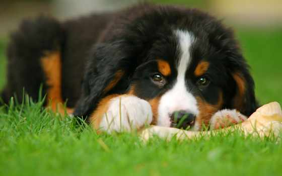 bernese, del, bovaro, ди, cuccioli, cucciolo, cane,