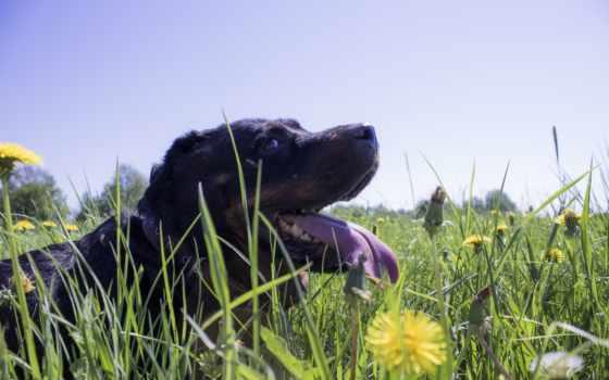 трава, собака, одуванчик, animal, white