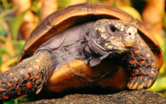 забавные, foot, tortoise, red, черепаха, животные, screensaver, животными, free, photos, черепахи, turtoise, animal,