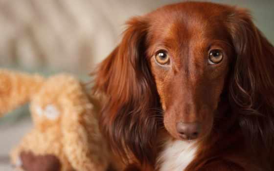dachshund, собака, собаки, породы, уши, standard, собак, таксы, особенности,