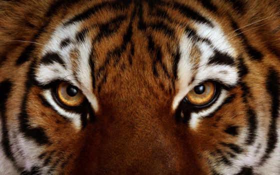 тигр, морда, взгляд, тигра, glaza, тигры, zhivotnye, фотографий, хищник, шерсть,