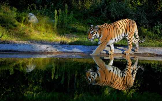 тигр, отражение, water, white, природа, прогулка