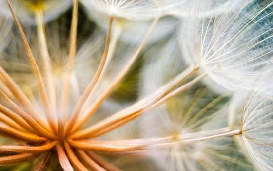 одуванчик, цветы, растение
