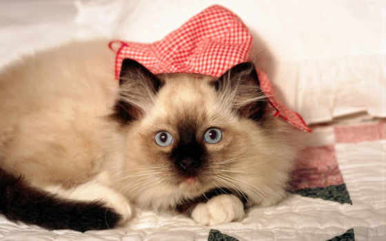 котенок, морда, одеяло