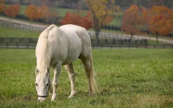 лошади, zhivotnye, лошадь, качественные, широкоформатные, white, телефон, кони,