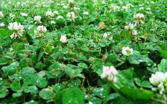 clover, газон, трава