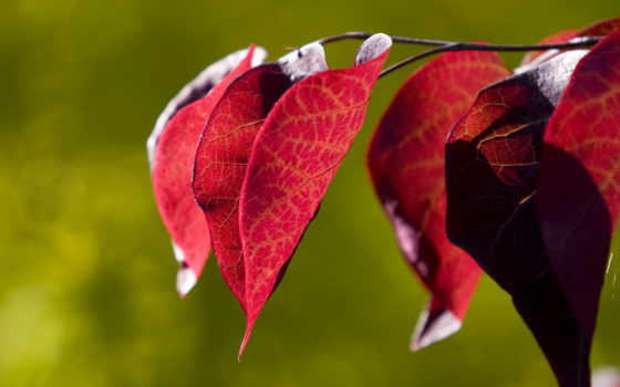 leaves, background, red