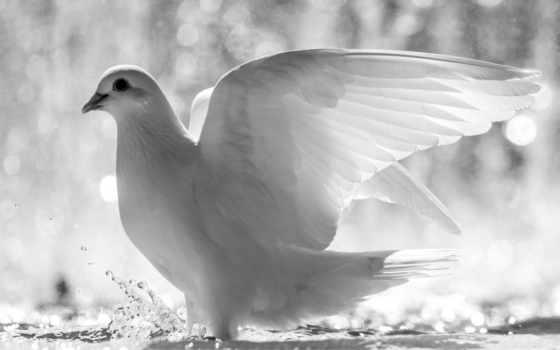 голубь, white, птица