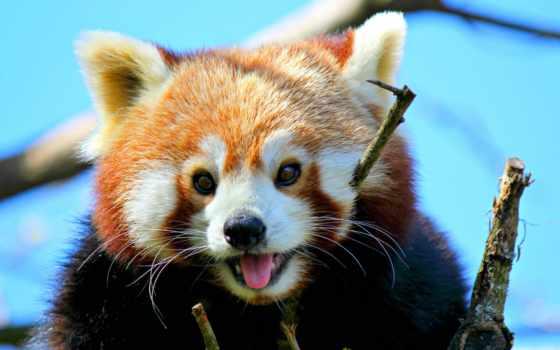 панда, красная, малая,
