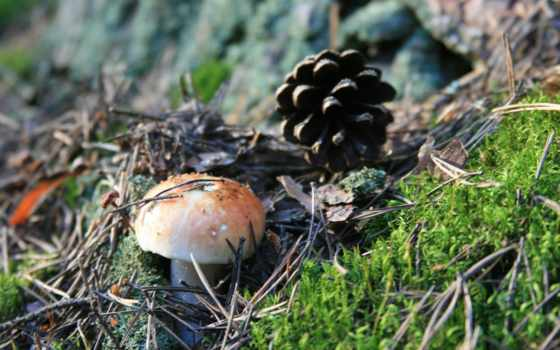 отдых, природа, прогулка, утро, лес, макро, иголки, pine, ягода, дерево,