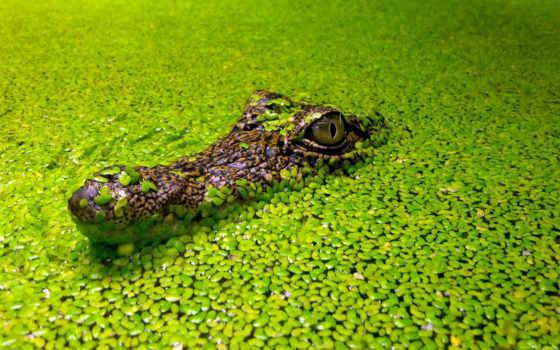 крокодил, зелёный, reservoir, снится, чему,