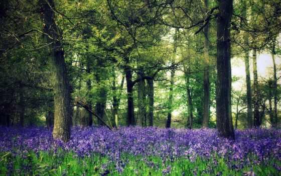 лес, природа, cvety, trees, зелёный, click, фиолетовые, лесу,