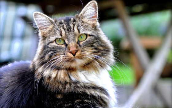 кот, пушистый, dark, взгляд, хороший, white, дек, серый,