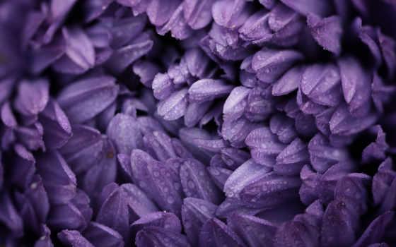 purple, flowers, цветы, drops, water, petals, макро, desktop,