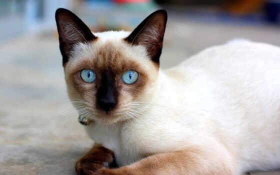 сиамский, кот, котенок, голубоглазый