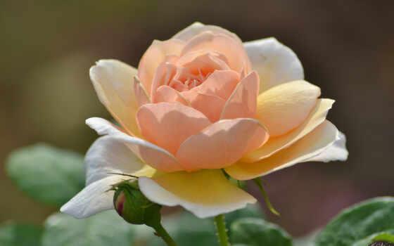 роза, весна, слово, bessilnyi, garden, картинка, цветы