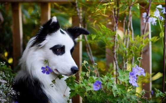 аватар, animal, forum, собака, колли, border, pin, цветы, природа