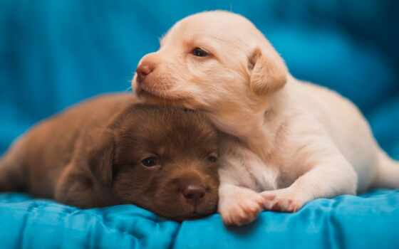 собака, порода, малыш, retriever, щенок, pair, labrador, kostroma