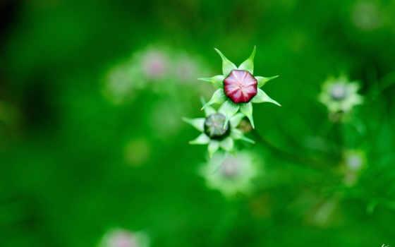 цветы, космея