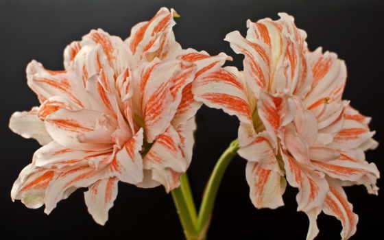цветы, амариллис