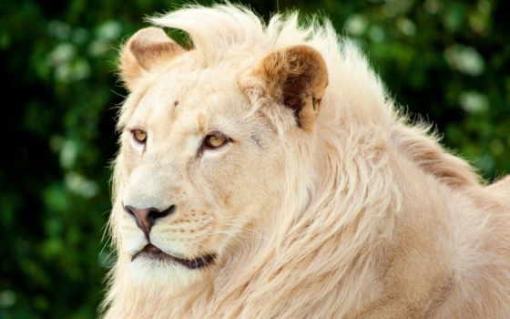 lion, white, грива
