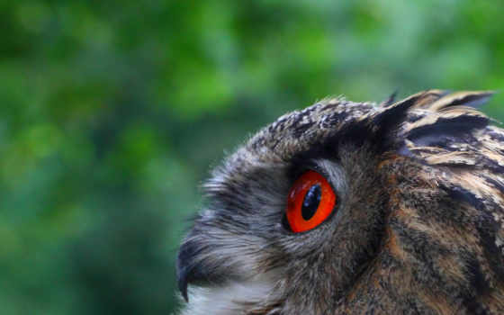 birds, eyes, red, owls, more,
