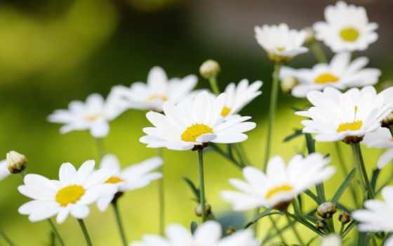 ромашки, белые, природа, cvety, summer, мар, страница,