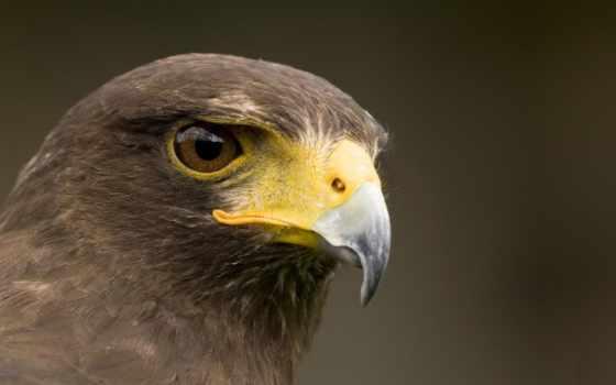 перепелятник, птица, полете, flying, небе, сапсан, hawk, хаски,