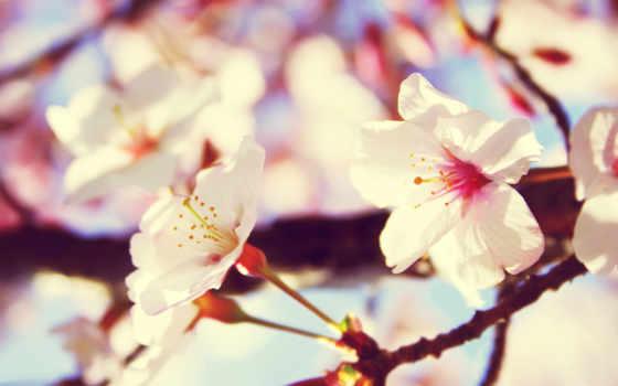 pantalla, flores, fondos, fondo, blancas,
