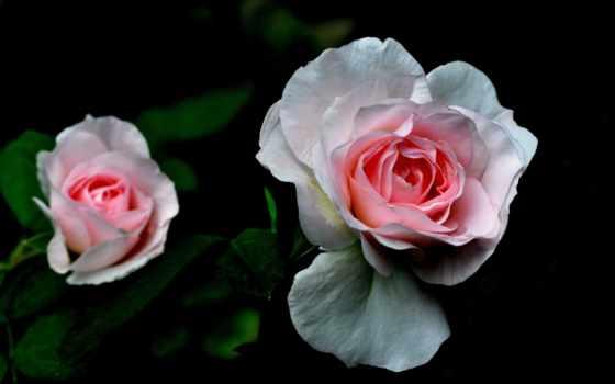 cvety, дивные, роза
