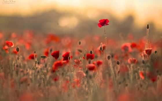 блики, цветы, гимн, маки, боке, поле, перевод,