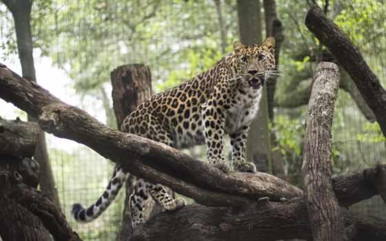 desktop, леопард, zoo, lampart, free,
