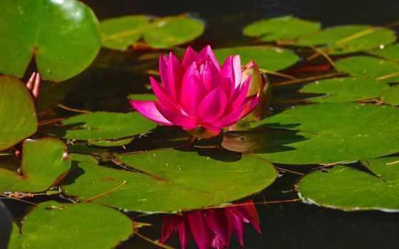desktop, lily, лепестки, petals, листва, reservoir, листья,