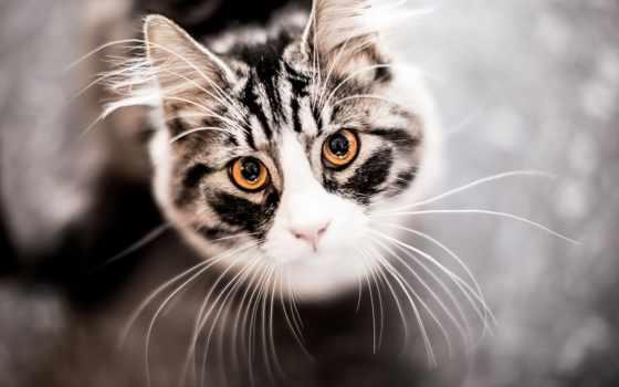 ус, кот, морда, взгляд, сверху, вибриссы, why, кошке, кошки,
