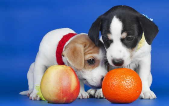 собаки, щенки, оранжевый
