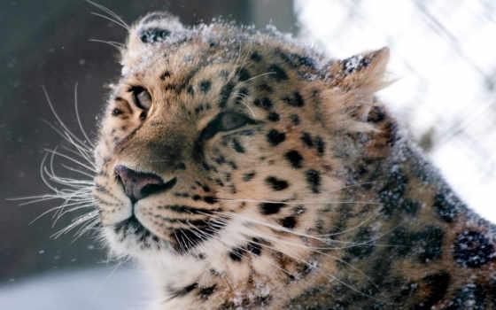 леопард, amur, кот