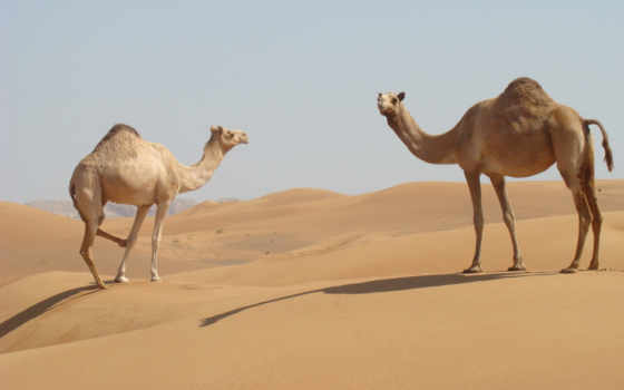 animals, camels, пустыня