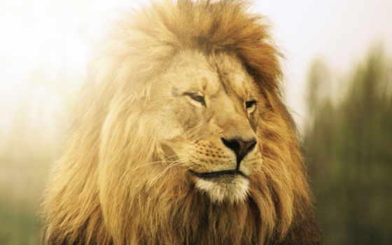 lion, noite, boa