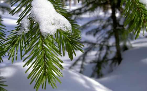 снег, обои, зима, ветка, иголки, хвоя, макро, елка