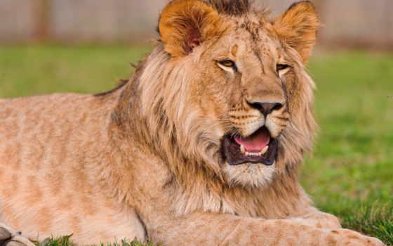 lion, детёныш, молодой