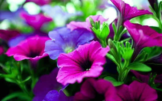 цветы, фиолетовые, кот