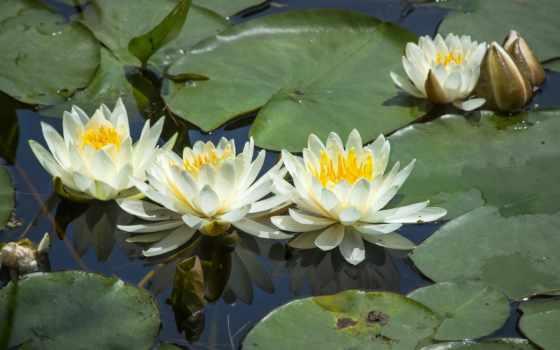 lily, кувшинки, водяная, нимфея, photos, листва, covers, profile, красавица,