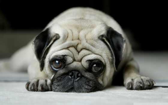 собак, породы, мопс, маленькие, пород, description, порода, ужасная, картофель,
