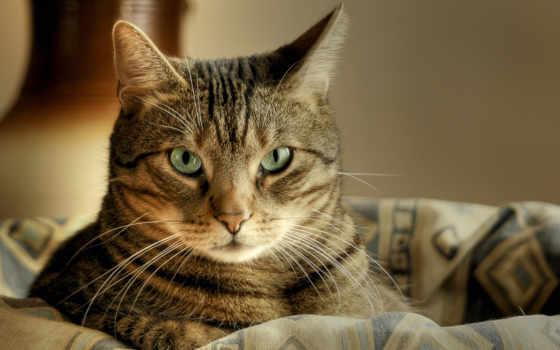 кот, свет, зеленые, striped, лежит, взгляд, макро, корзина,