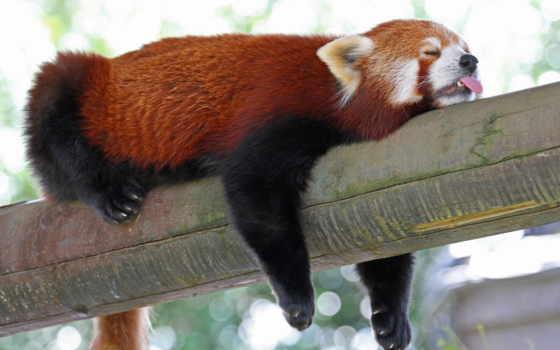 панда, красная, малая, firefox, спит, browse,